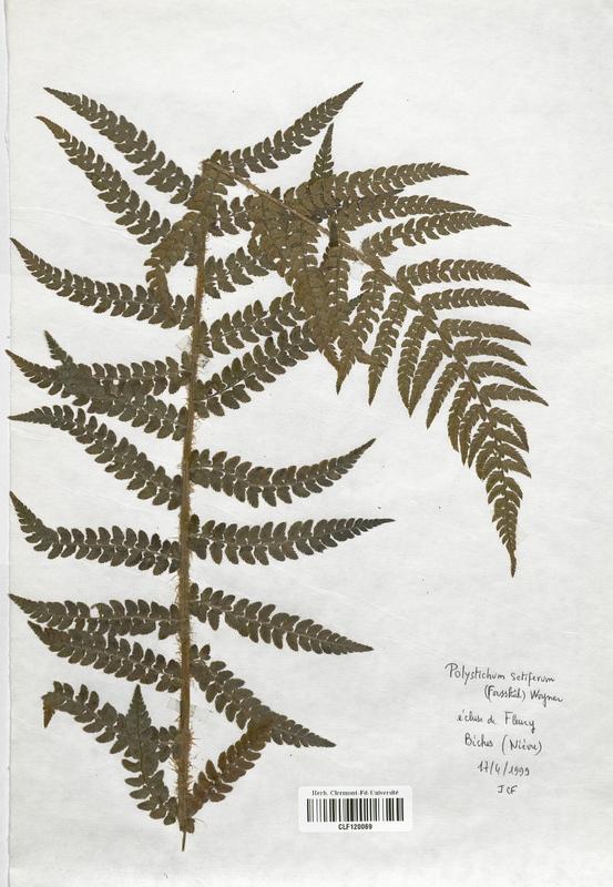 https://bibliotheque-virtuelle.bu.uca.fr/files/fichiers_bcu/Dryopteridaceae_Polystichum_setiferum_CLF120069.jpg