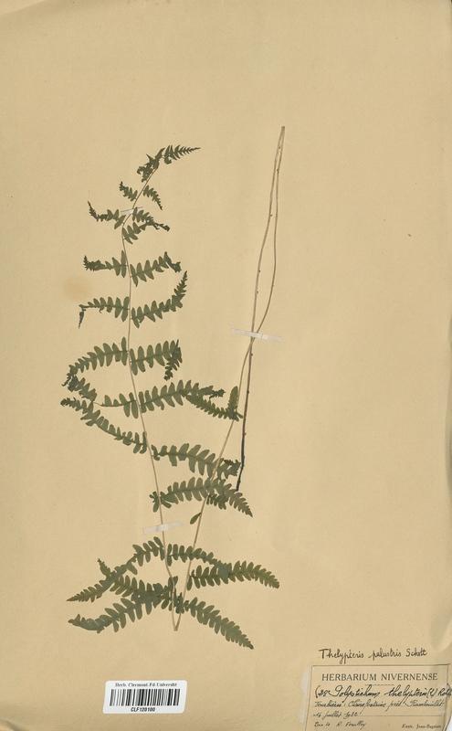 https://bibliotheque-virtuelle.bu.uca.fr/files/fichiers_bcu/Dryopteridaceae_Polystichum_thelypteris_CLF120100.jpg