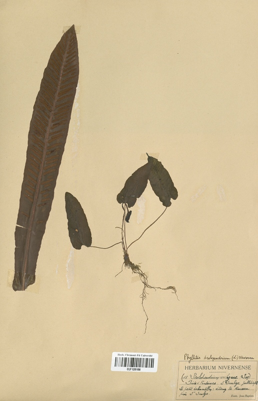 https://bibliotheque-virtuelle.bu.uca.fr/files/fichiers_bcu/Aspleniaceae_Scolopendrium_vulgare_CLF120106.jpg