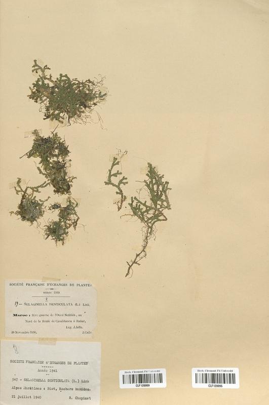 https://bibliotheque-virtuelle.bu.uca.fr/files/fichiers_bcu/Selaginellaceae_Selaginella_denticulata_CLF120009.jpg