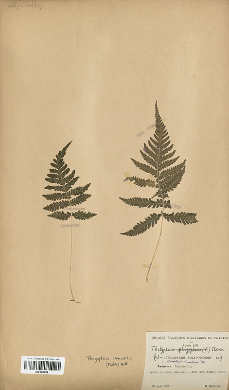 https://bibliotheque-virtuelle.bu.uca.fr/files/fichiers_bcu/Thelyperidaceae_Thelypteris_polypodioides_CLF120099.jpg