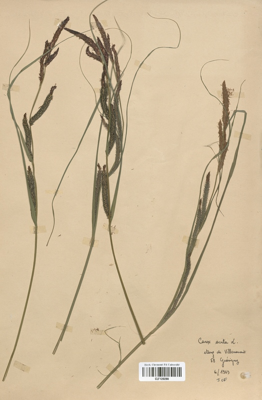 https://bibliotheque-virtuelle.bu.uca.fr/files/fichiers_bcu/Cyperaceae_Carex_acuta_CLF120280.jpg