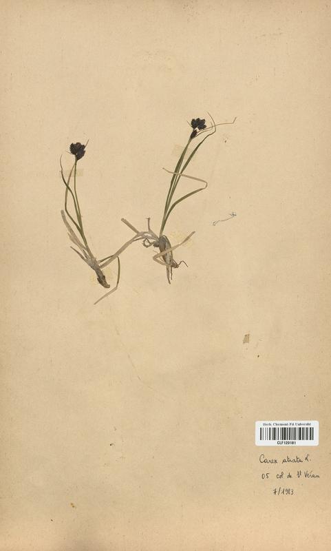 https://bibliotheque-virtuelle.bu.uca.fr/files/fichiers_bcu/Cyperaceae_Carex_atrata_CLF120181.jpg