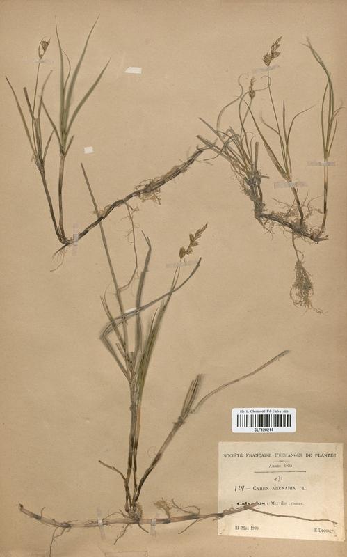 https://bibliotheque-virtuelle.bu.uca.fr/files/fichiers_bcu/Cyperaceae_Carex_arenaria_CLF120214.jpg