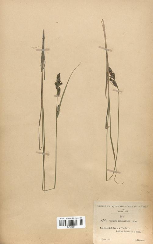 https://bibliotheque-virtuelle.bu.uca.fr/files/fichiers_bcu/Cyperaceae_Carex_buxbaumii_CLF120237.jpg