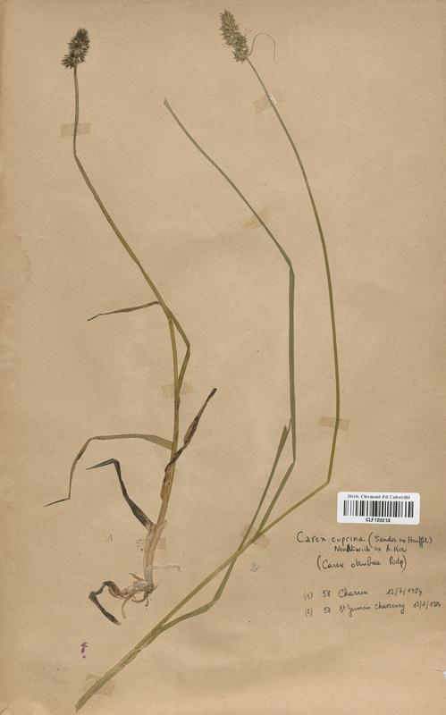 https://bibliotheque-virtuelle.bu.uca.fr/files/fichiers_bcu/Cyperaceae_Carex_cuprina_CLF120213.jpg