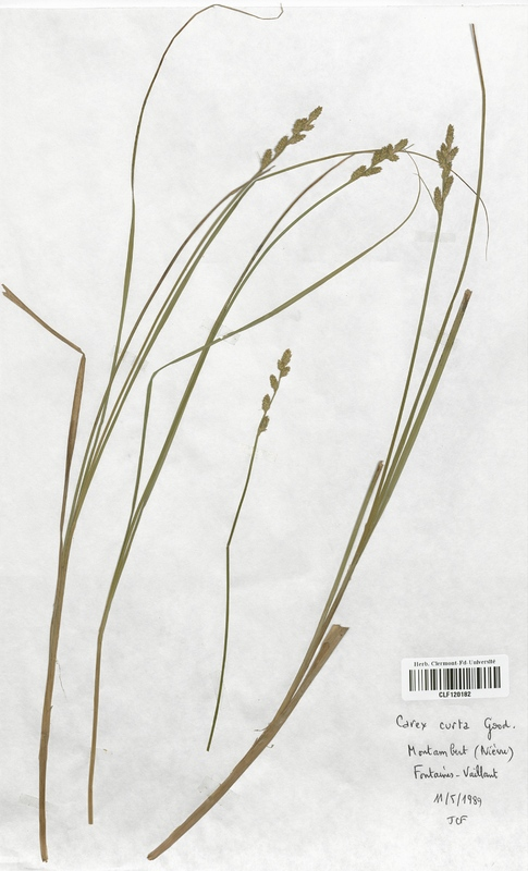 https://bibliotheque-virtuelle.bu.uca.fr/files/fichiers_bcu/Cyperaceae_Carex_curta_CLF120182.jpg