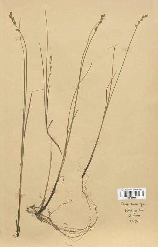 https://bibliotheque-virtuelle.bu.uca.fr/files/fichiers_bcu/Cyperaceae_Carex_curta_CLF120183.jpg