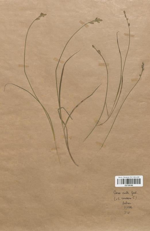 https://bibliotheque-virtuelle.bu.uca.fr/files/fichiers_bcu/Cyperaceae_Carex_curta_CLF120185.jpg