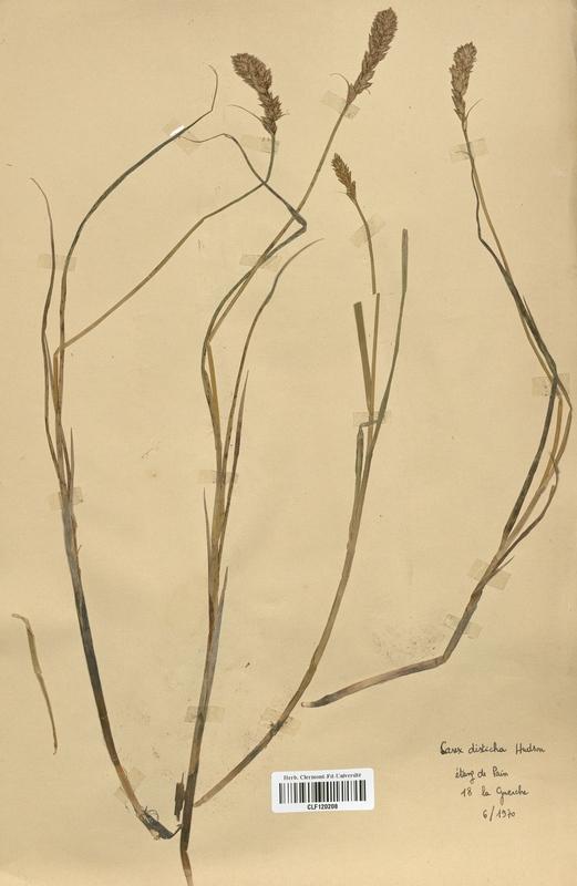 https://bibliotheque-virtuelle.bu.uca.fr/files/fichiers_bcu/Cyperaceae_Carex_disticha_CLF120208.jpg
