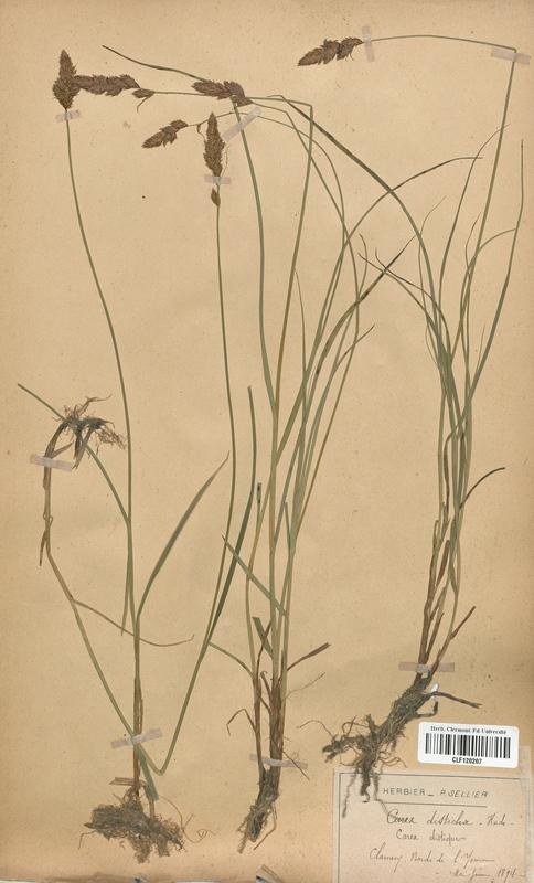 https://bibliotheque-virtuelle.bu.uca.fr/files/fichiers_bcu/Cyperaceae_Carex_disticha_CLF120207.jpg