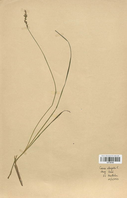 https://bibliotheque-virtuelle.bu.uca.fr/files/fichiers_bcu/Cyperaceae_Carex_elongata_CLF120193.jpg
