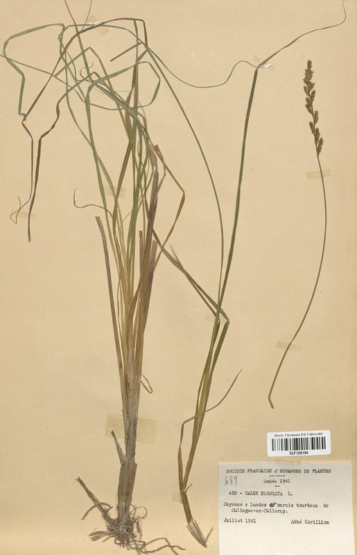 https://bibliotheque-virtuelle.bu.uca.fr/files/fichiers_bcu/Cyperaceae_Carex_elongata_CLF120194.jpg
