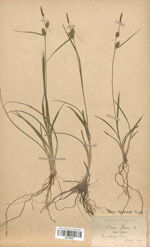 https://bibliotheque-virtuelle.bu.uca.fr/files/fichiers_bcu/Cyperaceae_Carex_flava_lepidocarpa_CLF120252.jpg