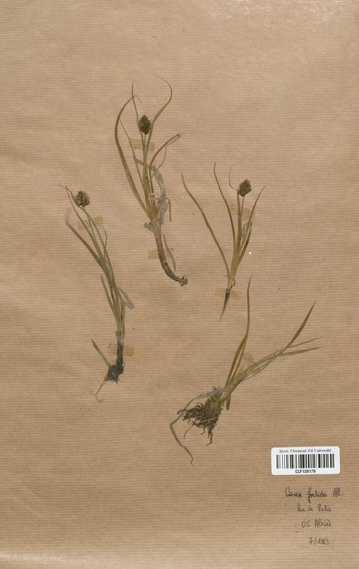 https://bibliotheque-virtuelle.bu.uca.fr/files/fichiers_bcu/Cyperaceae_Carex_foetida_CLF120179.jpg