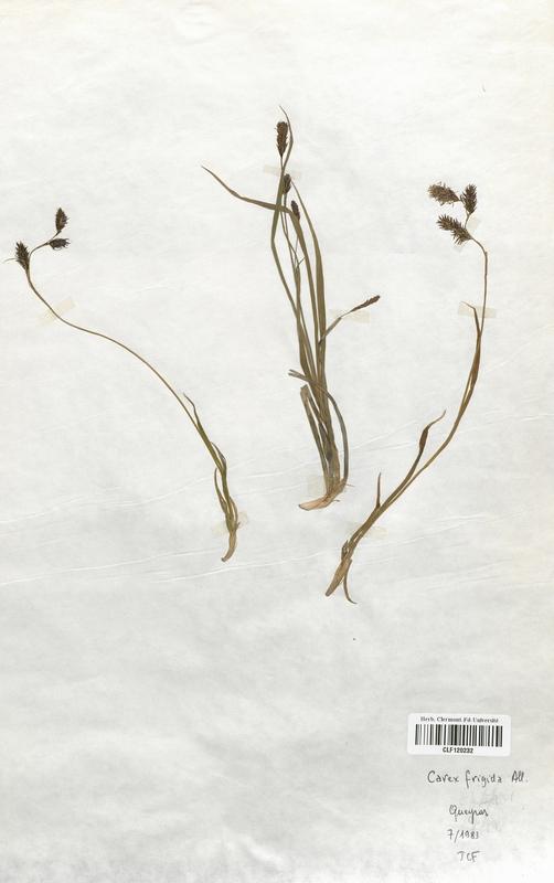 https://bibliotheque-virtuelle.bu.uca.fr/files/fichiers_bcu/Cyperaceae_Carex_frigida_CLF120232.jpg