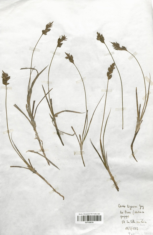 https://bibliotheque-virtuelle.bu.uca.fr/files/fichiers_bcu/Cyperaceae_Carex_ligerica_CLF120215.jpg