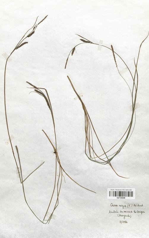 https://bibliotheque-virtuelle.bu.uca.fr/files/fichiers_bcu/Cyperaceae_Carex_nigra_CLF120238.jpg