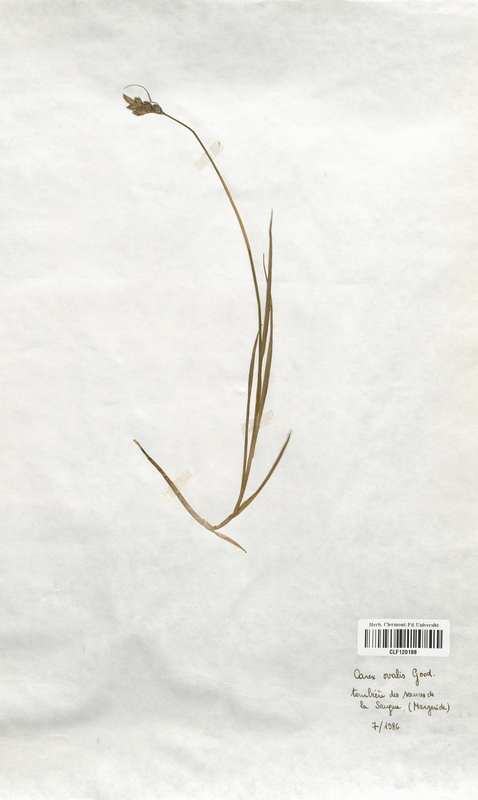 https://bibliotheque-virtuelle.bu.uca.fr/files/fichiers_bcu/Cyperaceae_Carex_ovalis_CLF120188.jpg