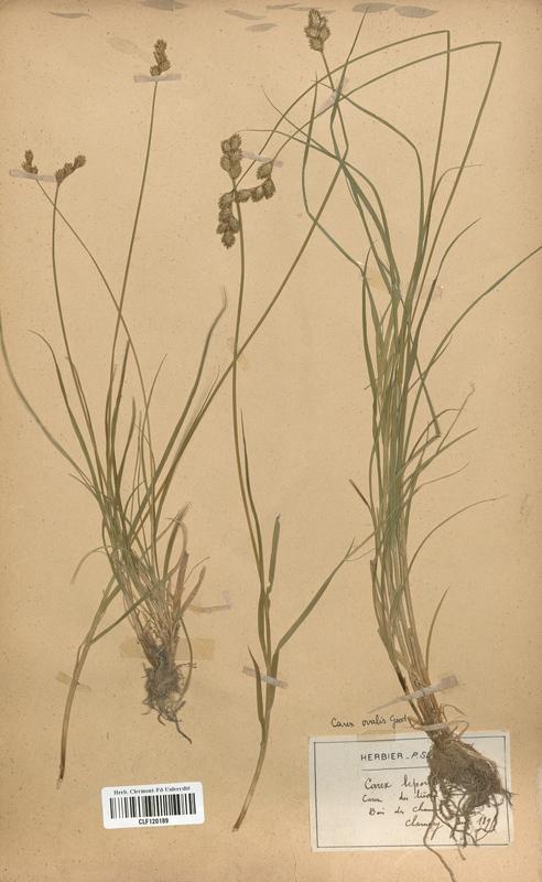 https://bibliotheque-virtuelle.bu.uca.fr/files/fichiers_bcu/Cyperaceae_Carex_ovalis_CLF120189.jpg