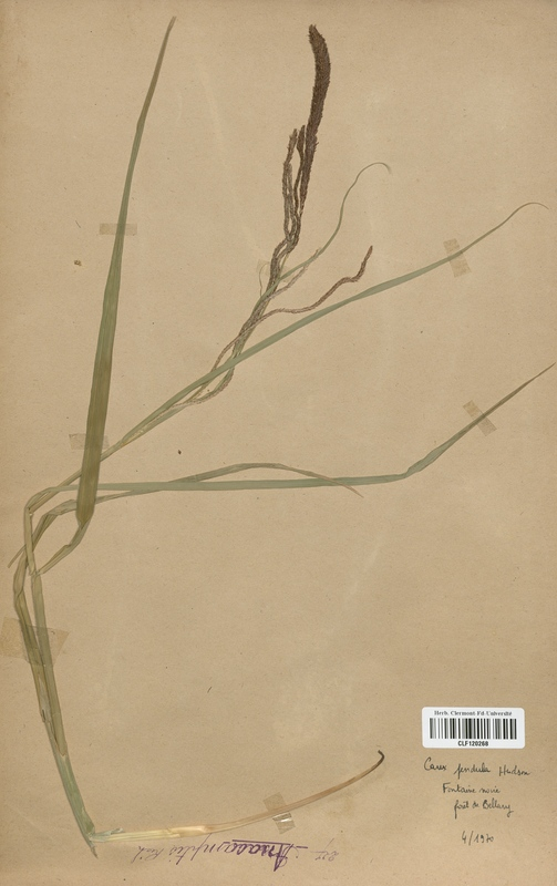 https://bibliotheque-virtuelle.bu.uca.fr/files/fichiers_bcu/Cyperaceae_Carex_pendula_CLF120268.jpg