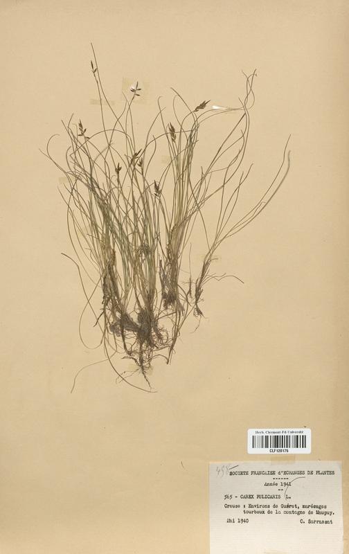 https://bibliotheque-virtuelle.bu.uca.fr/files/fichiers_bcu/Cyperaceae_Carex_pulicaris_CLF120175.jpg