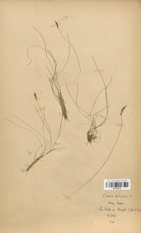 https://bibliotheque-virtuelle.bu.uca.fr/files/fichiers_bcu/Cyperaceae_Carex_pulicaris_CLF120176.jpg