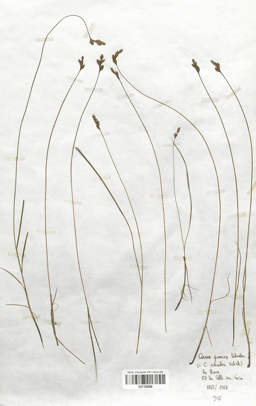 https://bibliotheque-virtuelle.bu.uca.fr/files/fichiers_bcu/Cyperaceae_Carex_praecox_CLF120205.jpg