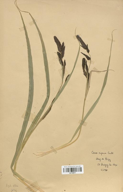 https://bibliotheque-virtuelle.bu.uca.fr/files/fichiers_bcu/Cyperaceae_Carex_riparia_CLF120271.jpg