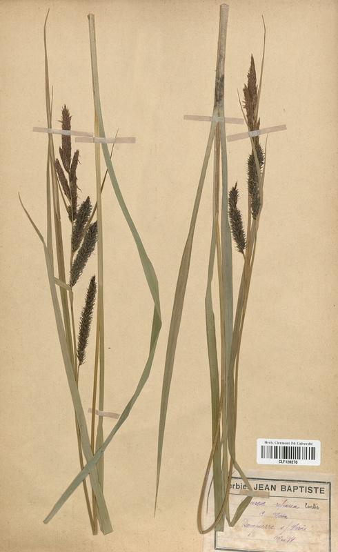 https://bibliotheque-virtuelle.bu.uca.fr/files/fichiers_bcu/Cyperaceae_Carex_riparia_CLF120270.jpg