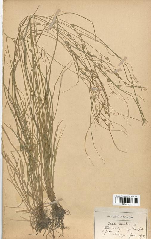 https://bibliotheque-virtuelle.bu.uca.fr/files/fichiers_bcu/Cyperaceae_Carex_remota_CLF120187.jpg