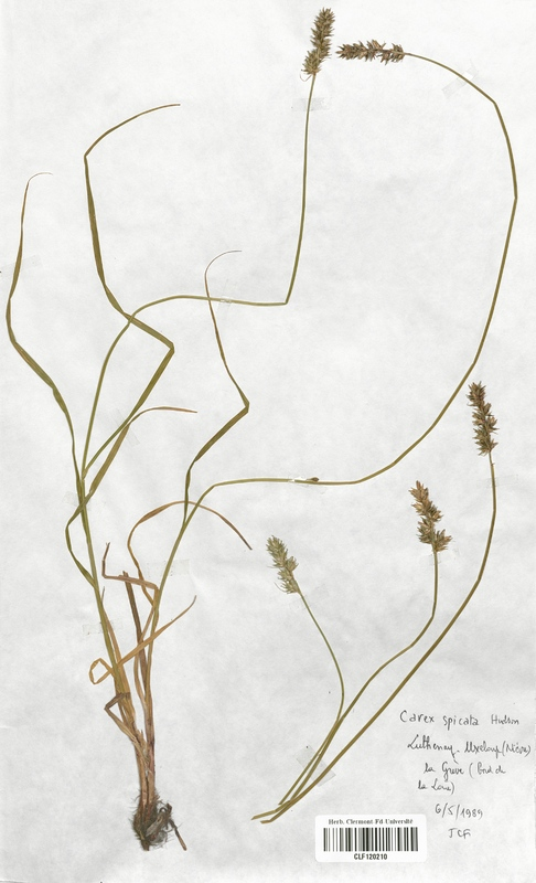 https://bibliotheque-virtuelle.bu.uca.fr/files/fichiers_bcu/Cyperaceae_Carex_spicata_CLF120210.jpg