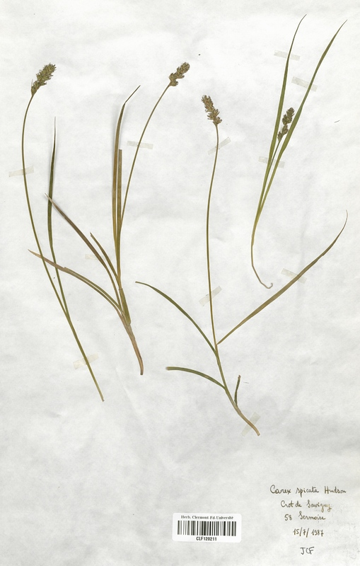 https://bibliotheque-virtuelle.bu.uca.fr/files/fichiers_bcu/Cyperaceae_Carex_spicata_CLF120211.jpg