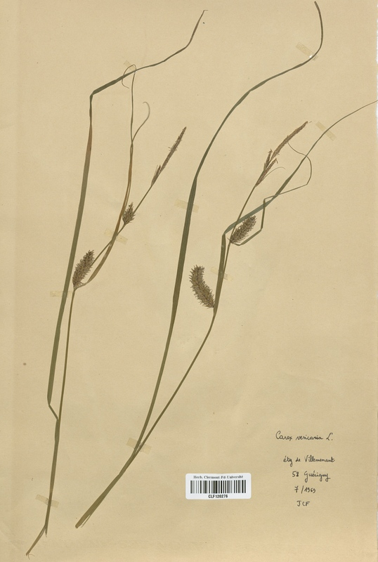 https://bibliotheque-virtuelle.bu.uca.fr/files/fichiers_bcu/Cyperaceae_Carex_vesicaria_CLF120276.jpg