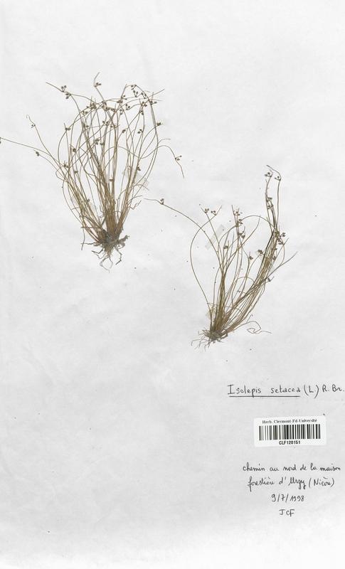 https://bibliotheque-virtuelle.bu.uca.fr/files/fichiers_bcu/Cyperaceae_Isolepis_setacea_CLF120151.jpg