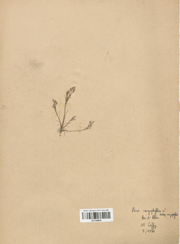 https://bibliotheque-virtuelle.bu.uca.fr/files/fichiers_bcu/Poaceae_Aira_caryophyllea_CLF120316.jpg