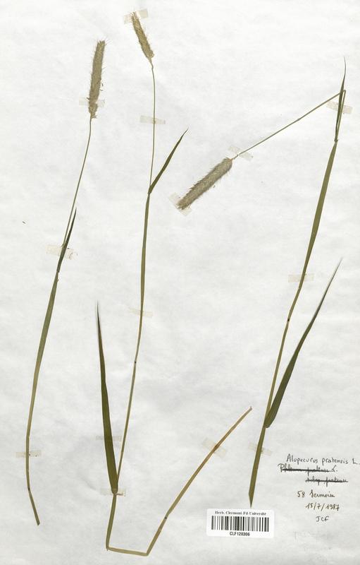 https://bibliotheque-virtuelle.bu.uca.fr/files/fichiers_bcu/Poaceae_Alopecurus_pratensis_CLF120306.jpg