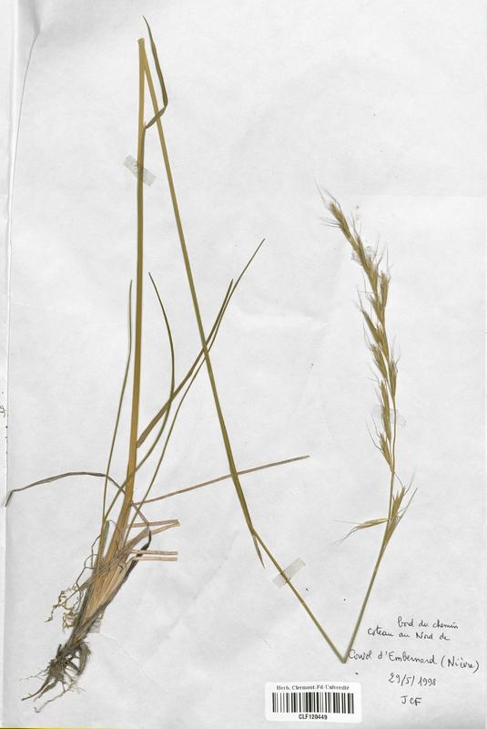 https://bibliotheque-virtuelle.bu.uca.fr/files/fichiers_bcu/Poaceae_Avenula_pratensis_CLF120449.jpg