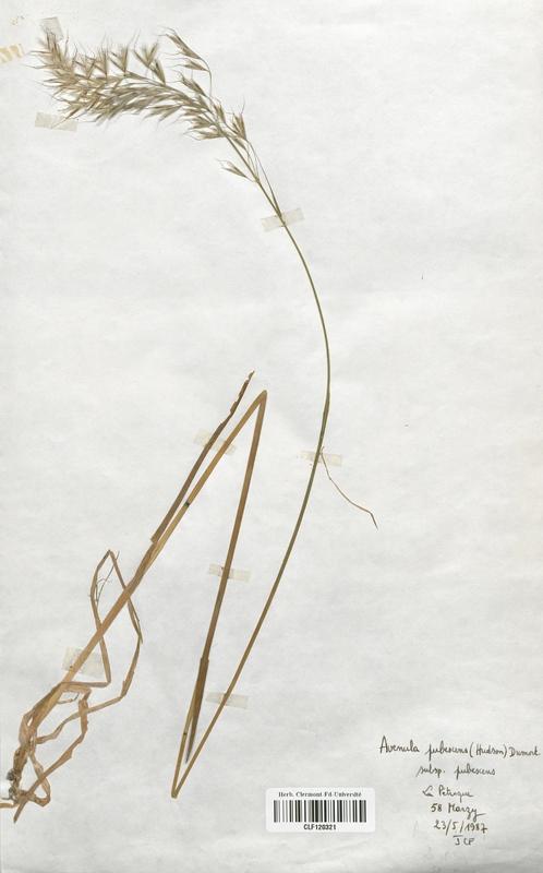 https://bibliotheque-virtuelle.bu.uca.fr/files/fichiers_bcu/Poaceae_Avenula_pubescens_CLF120321.jpg