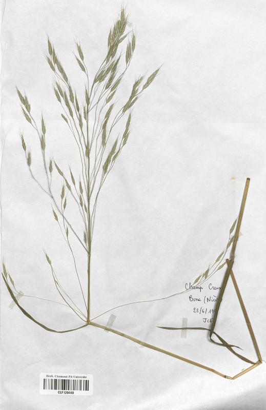 https://bibliotheque-virtuelle.bu.uca.fr/files/fichiers_bcu/Poaceae_Bromus_arvensis_CLF120440.jpg