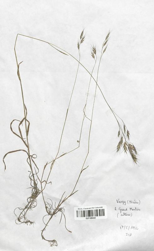 https://bibliotheque-virtuelle.bu.uca.fr/files/fichiers_bcu/Poaceae_Bromus_arvensis_CLF120442.jpg