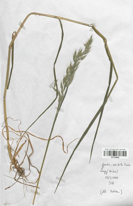 https://bibliotheque-virtuelle.bu.uca.fr/files/fichiers_bcu/Poaceae_Bromus_commutatus_CLF120436.jpg