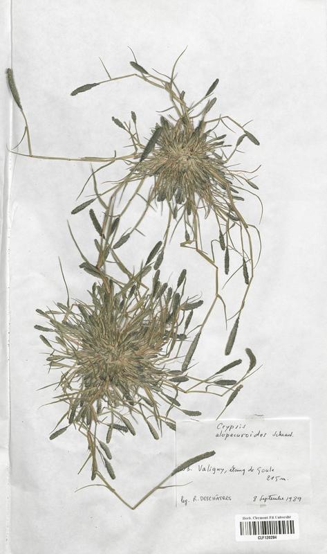 https://bibliotheque-virtuelle.bu.uca.fr/files/fichiers_bcu/Poaceae_Crypsis_alopecuroides_CLF120284.jpg