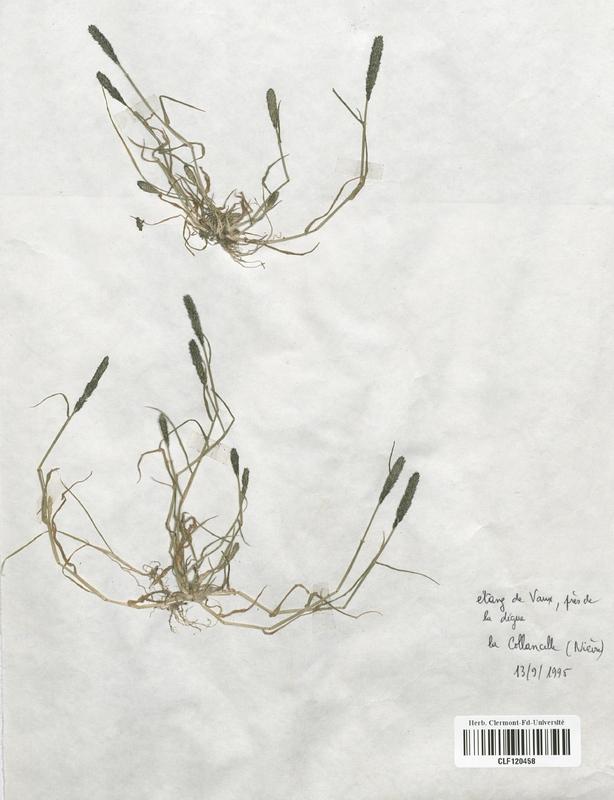 https://bibliotheque-virtuelle.bu.uca.fr/files/fichiers_bcu/Poaceae_Crypsis_alopecuroides_CLF120458.jpg