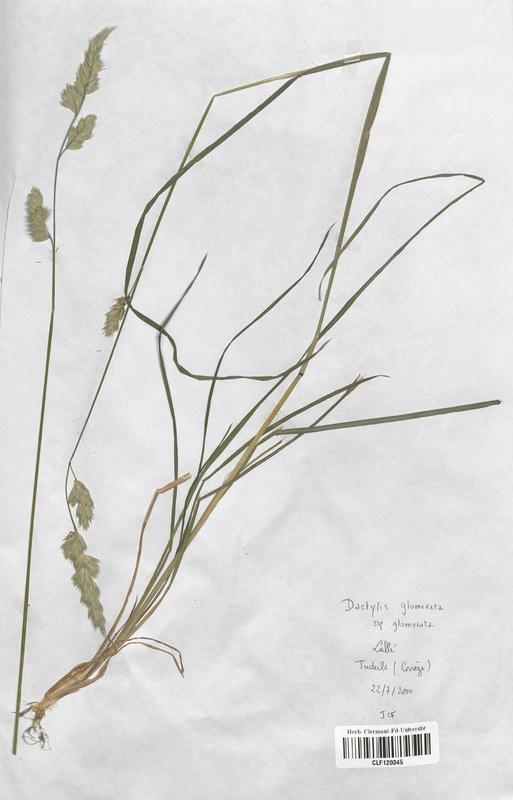 https://bibliotheque-virtuelle.bu.uca.fr/files/fichiers_bcu/Poaceae_Dactylis_glomerata_CLF120345.jpg