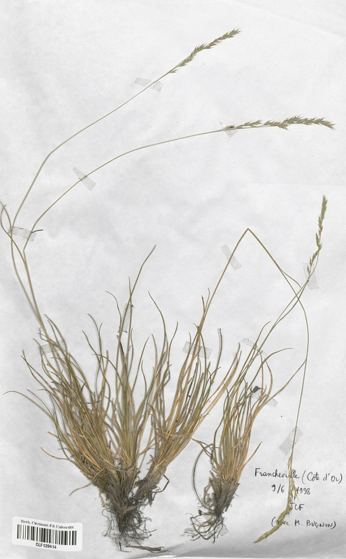 https://bibliotheque-virtuelle.bu.uca.fr/files/fichiers_bcu/Poaceae_Festuca_burgundiana_CLF120414.jpg