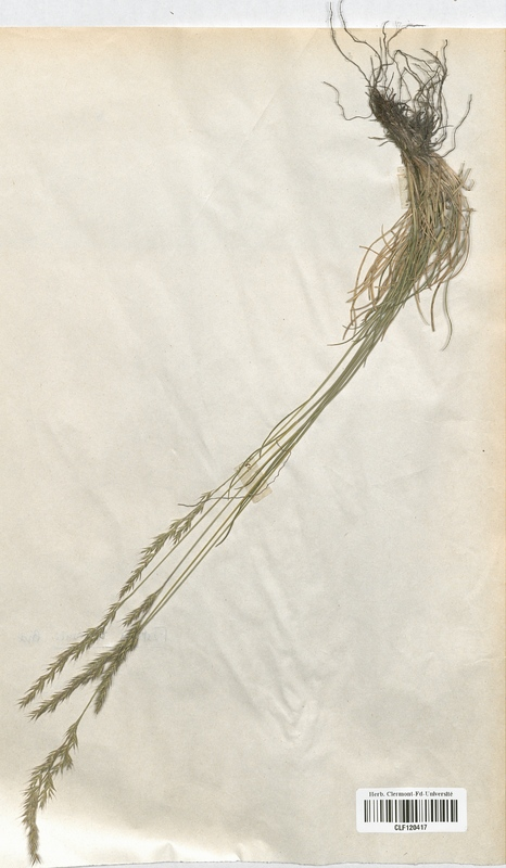 https://bibliotheque-virtuelle.bu.uca.fr/files/fichiers_bcu/Poaceae_Festuca_lemanii_CLF120417.jpg