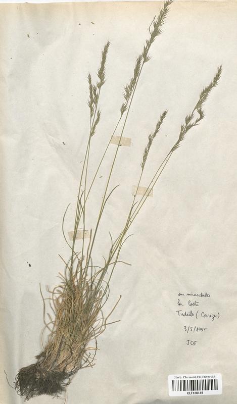 https://bibliotheque-virtuelle.bu.uca.fr/files/fichiers_bcu/Poaceae_Festuca_lemanii_CLF120418.jpg