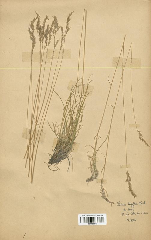 https://bibliotheque-virtuelle.bu.uca.fr/files/fichiers_bcu/Poaceae_Festuca_longifolia_CLF120372.jpg