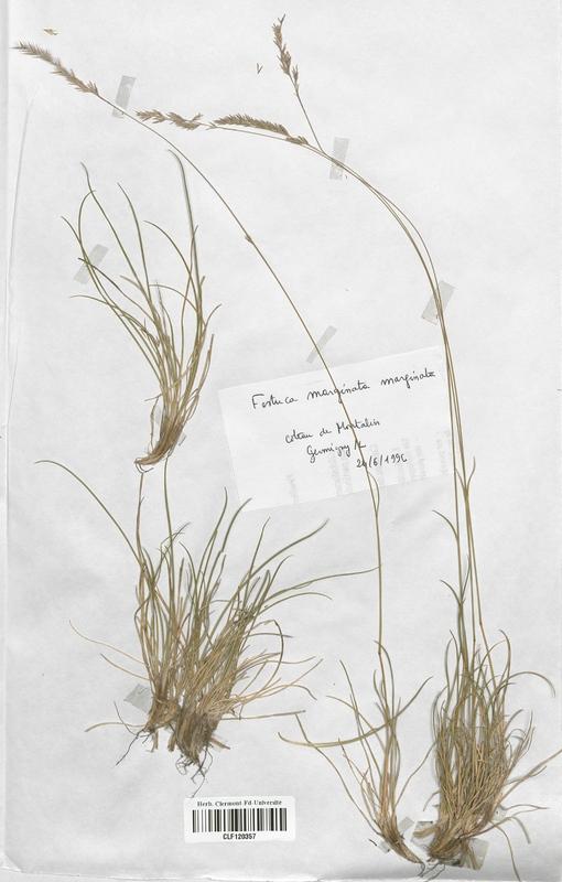 https://bibliotheque-virtuelle.bu.uca.fr/files/fichiers_bcu/Poaceae_Festuca_marginata_marginata_CLF120357.jpg